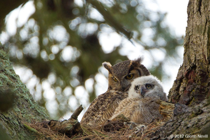 Great Horned Owls nest in Golden Gate Park