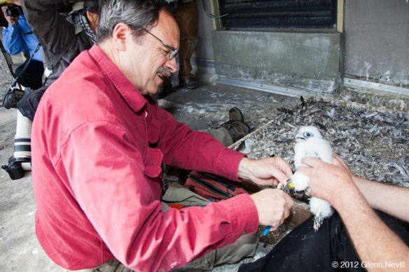 Banding Day for the PG&E Peregrine Falcons