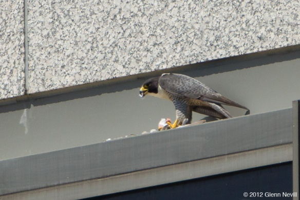 Adult Peregrines eat and fly, a timeline...