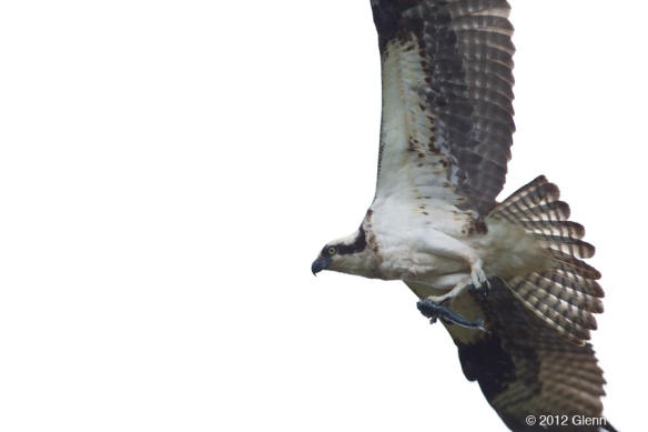 Birding in Portland Oregon - Osprey,  Peregrines and Wood Ducks,