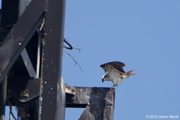 Osprey nesting north of Pier 94