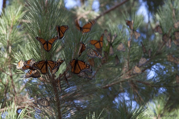 A trip to Pacific Grove to see the Monarch Butterflies