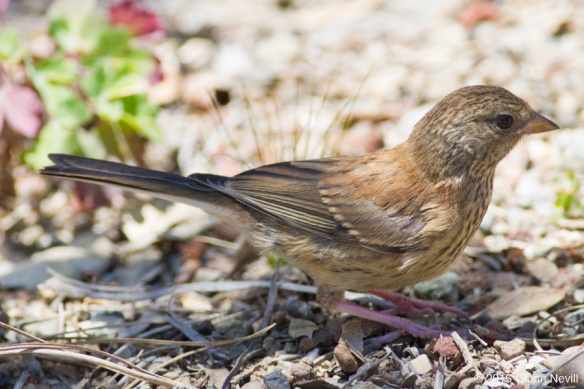 a juvenile Oregon Junco