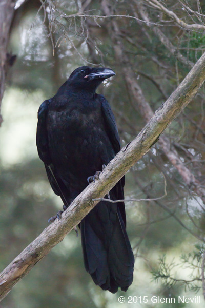On the way back to the car, Common Ravens were overhead in a pine tree.