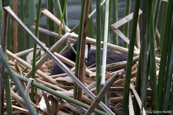 Another birder stopped me before I left and showed me the nesting Coot in the reeds.