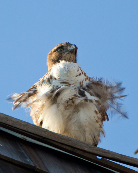 This Red-tailed Hawk with full crop has been in our neighborhood for several weeks. I finally had a chance to photograph it in good light . Nice way to finish off the last day of the year. Hope all your birdwatching is great and you all have a great new year. Regards, Glenn Nevill